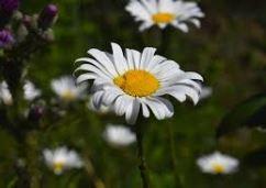 On voit des fleurs dans un pré comme une image des poèmes de Charles Baudelaire.